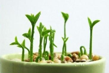 lemon-seeds